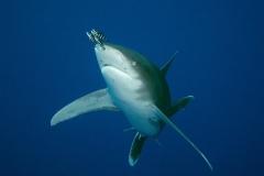 Žralok dlouhoploutvý (Shark)
